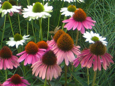 White and purple coneflower are two highlights from the colorful summer garden.