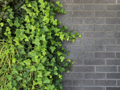 Light growing green wall vines against the heavy charcoal brick